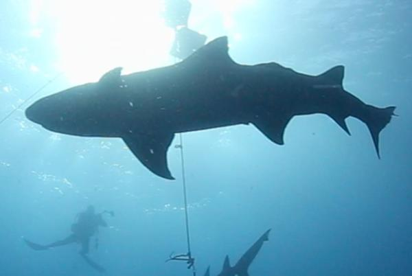Picture for The World's Best Dive Sites for Shark Lovers