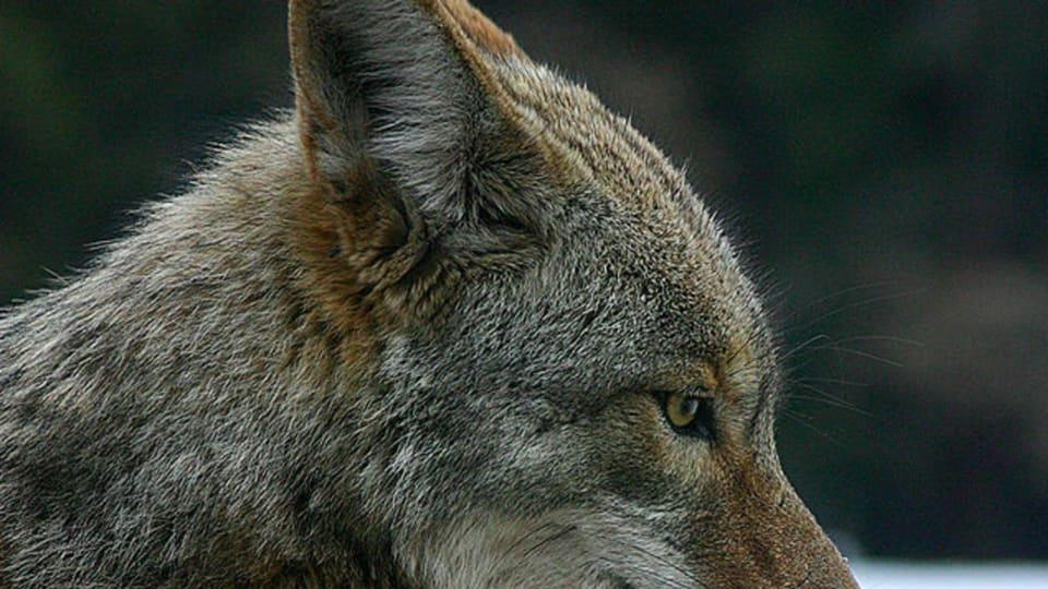 Picture for Alert Issued In CT Following Multiple Attempted Coyote Attacks On Dogs, Owners