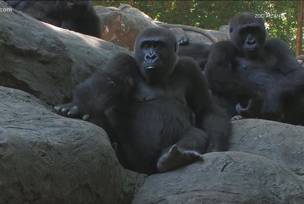 Picture for Gorillas continue to recover from virus that causes COVID at Zoo Atlanta