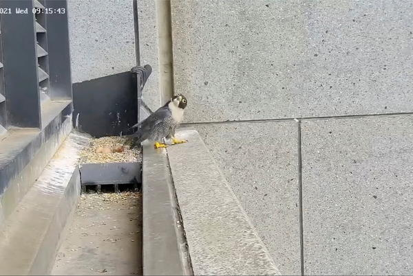 Picture for Melbourne quake rocks squawking falcon out of nest