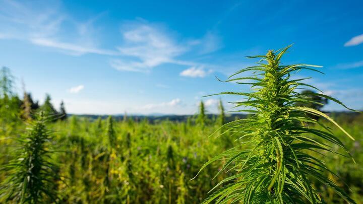 Cover for NY state police seizures of marijuana plants fall sharply