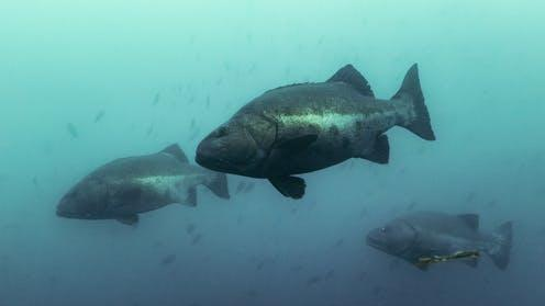 Picture for Giant sea bass are thriving in Mexican waters – scientific research that found them to be critically endangered stopped at the US-Mexico border