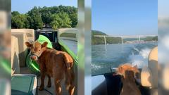 Cover for Fluffy Mini Calf Takes His First Kentucky Boat Ride and It's Adorable