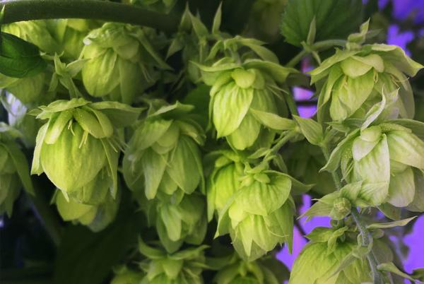 Picture for The hops in this new craft beer were grown in an indoor farm