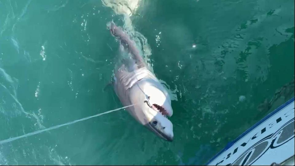 Picture for Heart-stopping moment shocked fisherman accidentally reels in massive GREAT WHITE SHARK off New Jersey