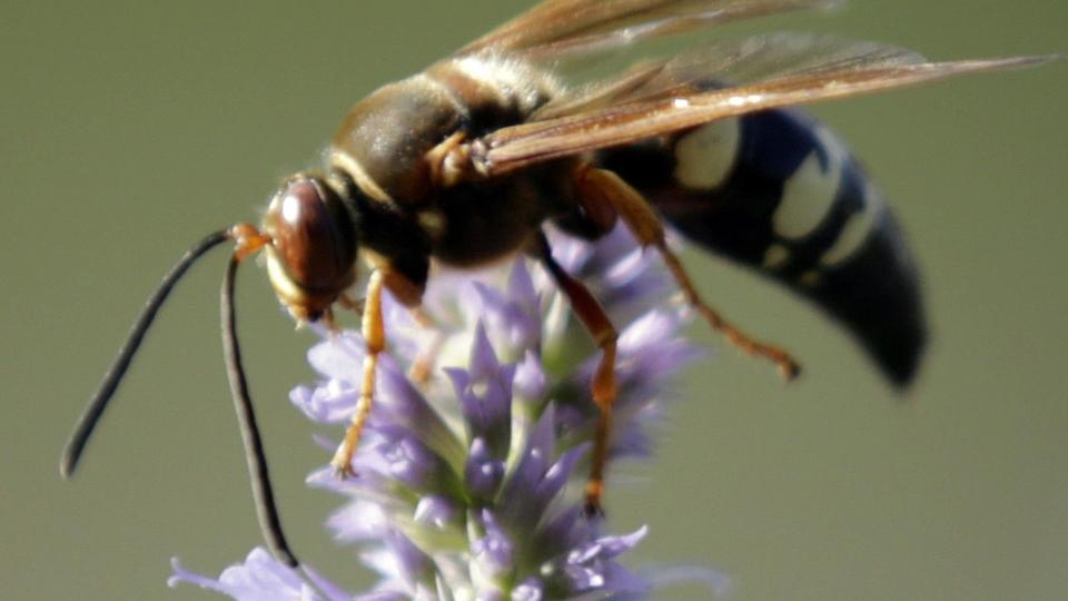 Picture for Large, dark red and good for your garden: Meet the cicada killer wasp