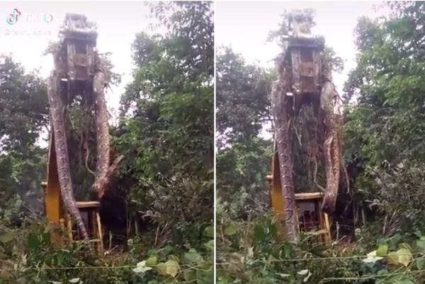 Picture for Viral video of 'world's biggest snake' being lifted out of rainforest leaves viewers shocked