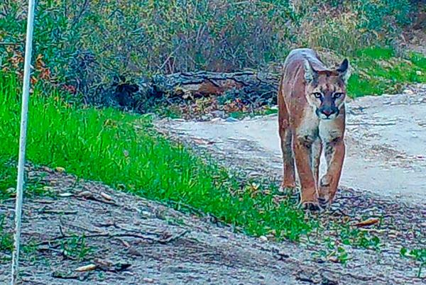 Picture for Whiting Ranch Wilderness Park closed after mountain lion sightings