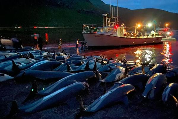 Picture for 1,400 dolphins were killed in the Faroe Islands in one day, shocking even some pro-whalers