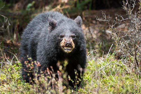 Picture for Black Bear Found Dead Near Glenwood Springs