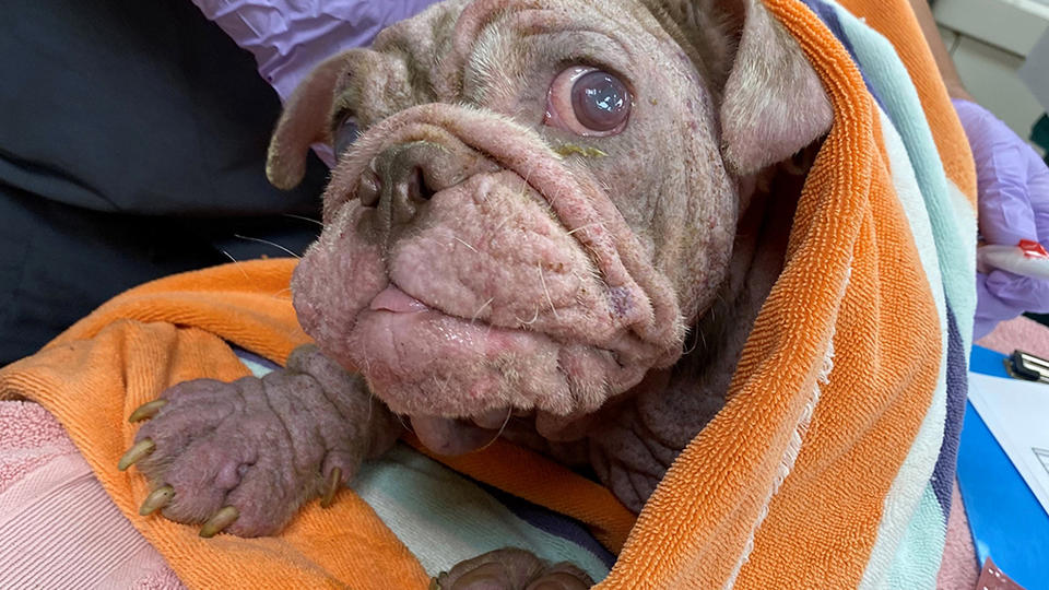 Picture for Animal Cruelty Charges May Be Sought After Severely Neglected English Bulldog Puppy Found At Coachella Property Dies