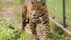 Cover for Jaguar injures man who climbed over barrier at Florida zoo