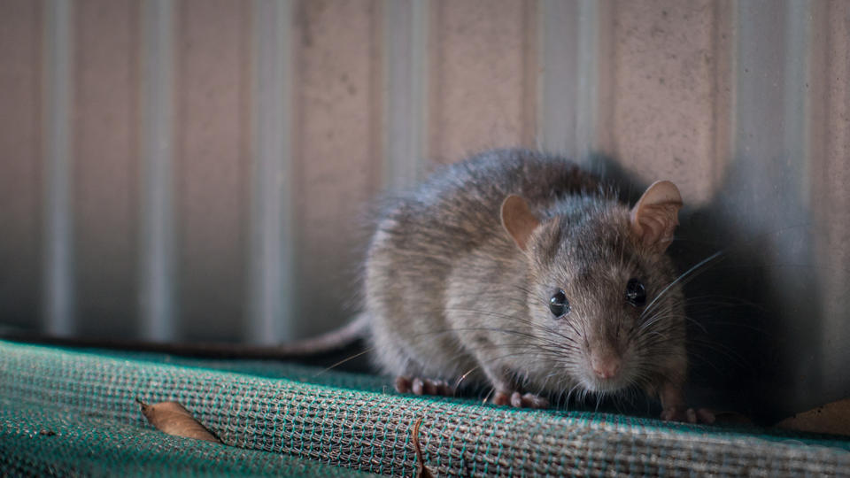 Picture for East Vandergrift hires exterminator to deal with rat infestation
