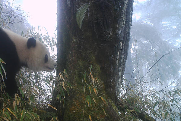 Picture for How fostering wanderlust benefits pandas