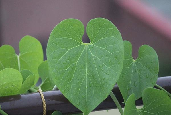Picture for Meet Giloy: Ayurvedic Herb which Relieves Digestion & Encourages Body Detox