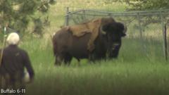 Cover for Bison escape from South Hill enclosure, spotted wandering Glenrose neighborhood