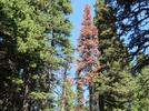Picture for Extreme Heat, Dry Summers Main Cause of Tree Death in Colorado's Subalpine Forests