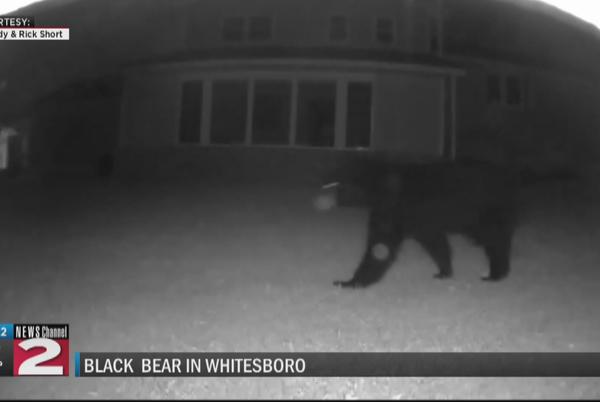 Picture for Black bear sighting in Whitesboro backyard