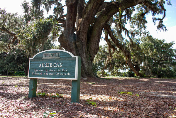 Picture for Half-millennium-old Airlie Oak gets TLC, makes babies