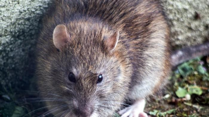 Cover for San Francisco Is the Fifth 'Rattiest' City in America, But Los Angeles is Number Two