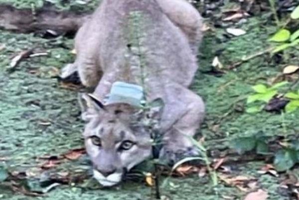 Picture for Mountain lion tranquilized after prompting school lockdowns in Northern California