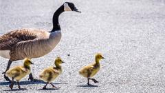 Cover for Gray truck sought after it 'deliberately ran over' family of 5 geese, animal rescue group says