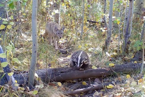 Picture for Trail Cam Video Shows Friendly Coyote and Badger Going for a Hike