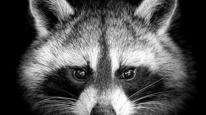 Cover for There's a raccoon eating king crab legs in your attic, workers tell Pa. homeowners