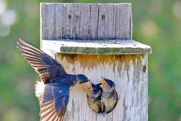 Picture for Purple Martin Feeding Chicks On Belmont Executive Golf Course