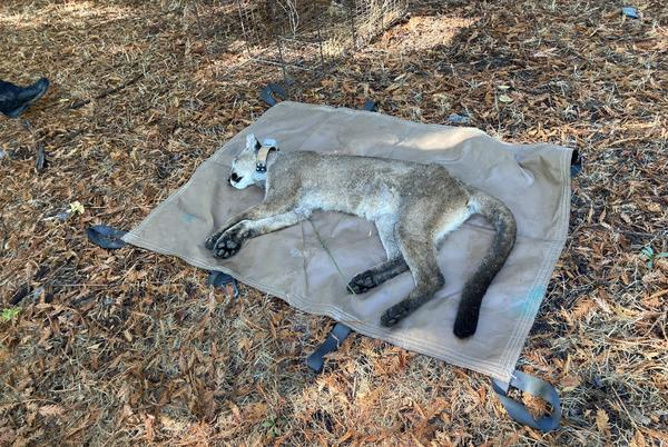 Picture for Mountain lion captured after causing school lockdowns in Sonoma County