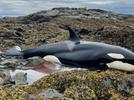 Picture for Good Samaritans in Alaska Help Rescue a Stranded Killer Whale