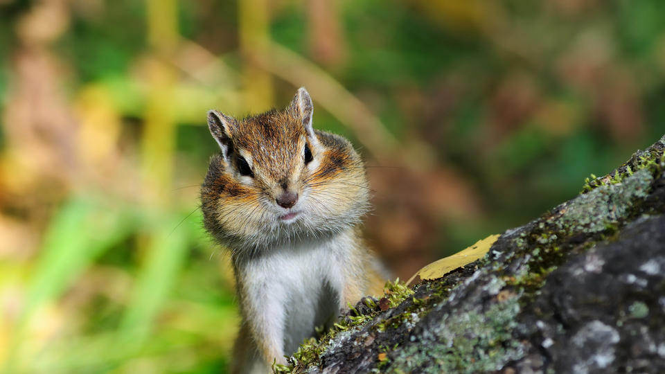 Picture for Plague-infested chipmunks force closures of South Lake Tahoe attractions
