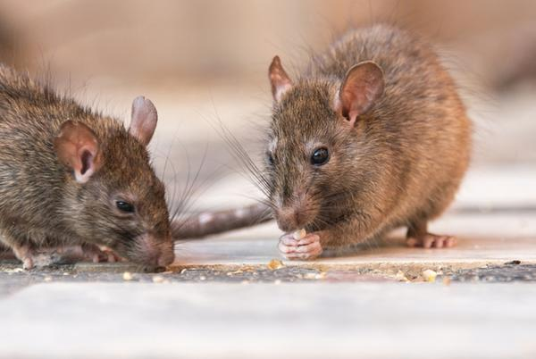 Picture for These are the 'rattiest' locations in the US; See which Northeast Ohio city made the list
