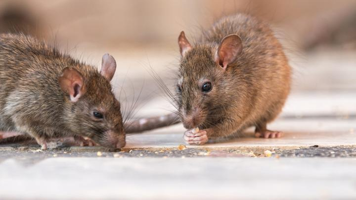 Cover for These are the 'rattiest' locations in the US; See which Northeast Ohio city made the list