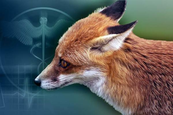 Picture for Rabies alert issued for portion of Weston after fox tests positive