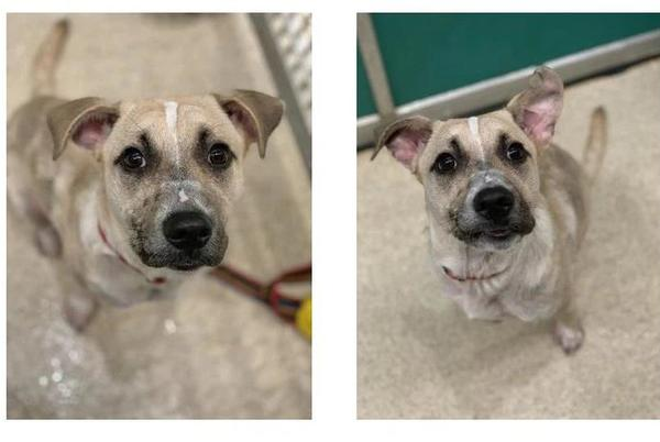 Picture for Aggieland Humane Society Pet of the Week: Hopalong Cassidy
