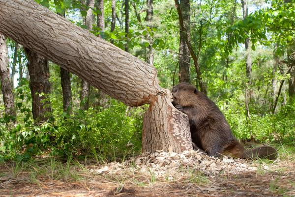 Picture for Beaver to blame for wildfires in Oregon