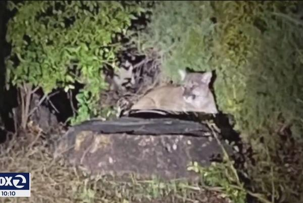 Picture for Another mountain lion sedated, removed from a Sonoma County neighborhood