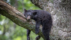 Cover for Bear Rescued From 20-Foot Tall Factory Ceiling in Virginia