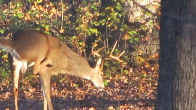 Cover for White-tailed deer can catch COVID, USDA reports. What does that mean for Missouri hunters?