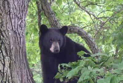 Picture for Motorcycle rider recovers after Washington bear incident