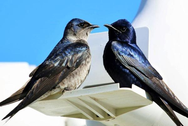 Picture for Bye Bye Birdie: America's beloved Purple Martins gather together before flying back to Brazil