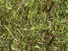 Picture for Destructive armyworms invade Mississippi yards
