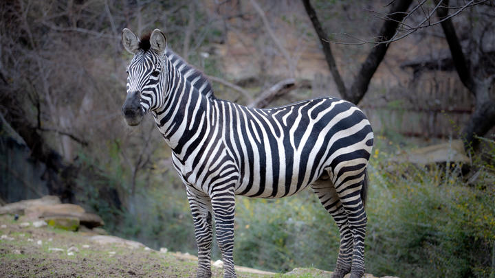 Cover for A dazzle of unattended zebras seen roaming PG County