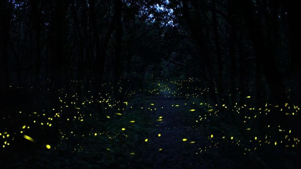 Picture for Synchronous Fireflies Annually Light Up Great Smoky Mountains In Unison