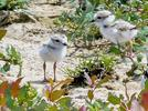 Picture for Four endangered Piping Plover chicks hatched in Ohio for 1st time in 80 years