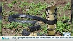 Cover for West African Cobra missing in Texas city