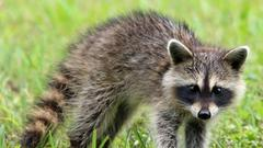 Cover for Raccoon tests positive for rabies in Hunterdon County