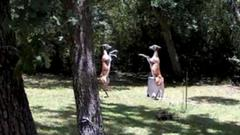 Cover for Deer caught boxing each other on Texas homeowner's security camera