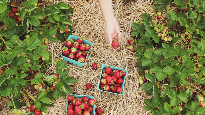 Cover for Where to go berry-picking in Rutherford County